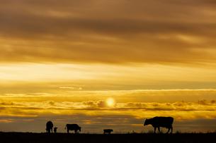 オレンジに染まる空を背景に高原の牧場で草を食む複数の牛のシルエットの写真素材 [FYI04737453]