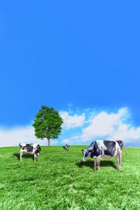 青空背景に丘陵の牧場で草を食む数頭の牛の写真素材 [FYI04737585]