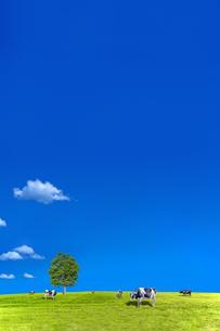 青空背景に丘陵の牧場で草を食む数頭の牛の写真素材 [FYI04737586]