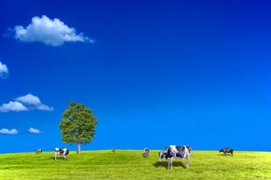 青空背景に丘陵の牧場で草を食む数頭の牛の写真素材 [FYI04737587]