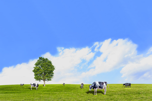 青空背景に丘陵の牧場で草を食む数頭の牛の写真素材 [FYI04737588]