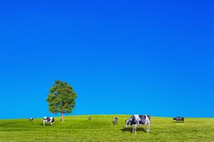 青空背景に丘陵の牧場で草を食む数頭の牛の写真素材 [FYI04737589]