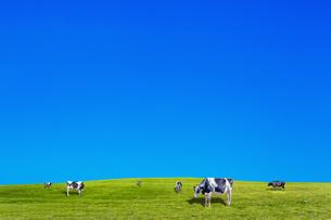 青空背景に丘陵の牧場で草を食む数頭の牛の写真素材 [FYI04737590]