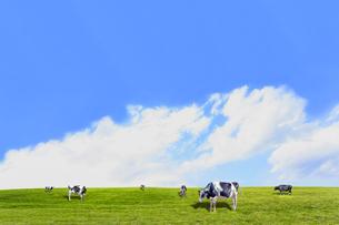 青空背景に丘陵の牧場で草を食む数頭の牛の写真素材 [FYI04737591]