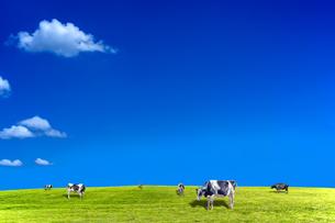 青空背景に丘陵の牧場で草を食む数頭の牛の写真素材 [FYI04737592]