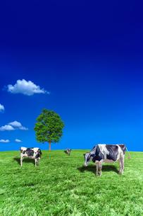 青空背景に丘陵の牧場で草を食む数頭の牛の写真素材 [FYI04737593]