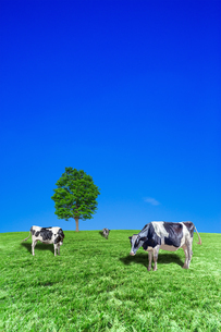 青空背景に丘陵の牧場で草を食む数頭の牛の写真素材 [FYI04737594]