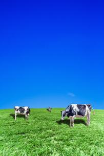 青空背景に丘陵の牧場で草を食む数頭の牛の写真素材 [FYI04737595]