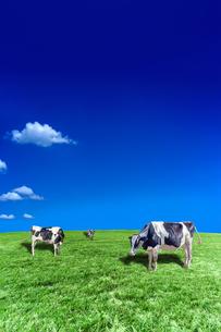 青空背景に丘陵の牧場で草を食む数頭の牛の写真素材 [FYI04737597]