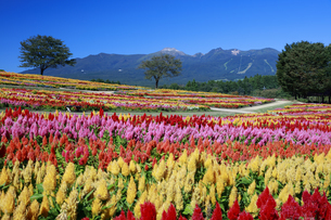 ケイトウ咲く那須フラワーワールドの写真素材 [FYI04737753]