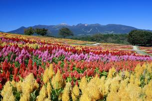 ケイトウ咲く那須フラワーワールドの写真素材 [FYI04737756]
