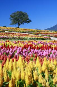 カラフルな花畑の写真素材 [FYI04737757]