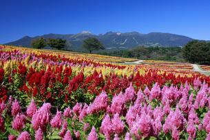 ケイトウ咲く那須フラワーワールドの写真素材 [FYI04737760]