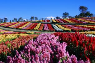ケイトウ咲く那須フラワーワールドの写真素材 [FYI04737762]