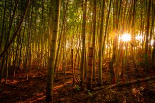 【自然風景】太陽光が差し込む夕方の竹林の様子の写真素材 [FYI04737931]