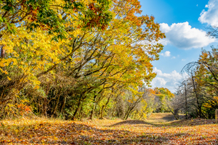 【秋】青空の下にある森林公園の自然風景 紅葉の写真素材 [FYI04737942]