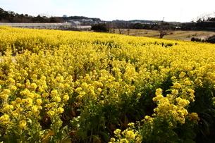 菜の花の丘の写真素材 [FYI04737944]