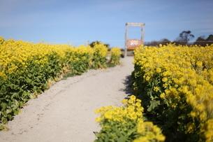 菜の花畑の小径の写真素材 [FYI04737948]
