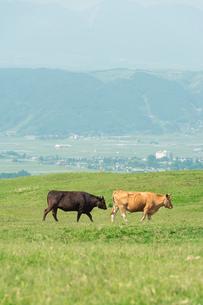 草原を歩く二頭の牛の写真素材 [FYI04738056]
