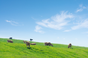 草原の草を食む牛の群れの写真素材 [FYI04738058]