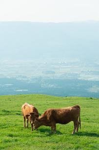 草原の草を食む二頭の牛の写真素材 [FYI04738059]