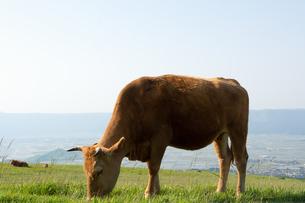 草原の草を食む牛の写真素材 [FYI04738060]