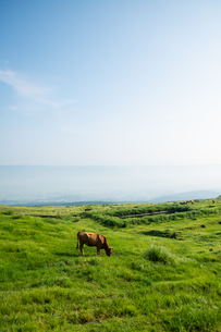 草原の草を食む牛の写真素材 [FYI04738061]