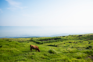 草原の草を食む牛の写真素材 [FYI04738062]