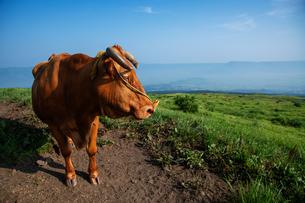 草原にたたずむ牛の写真素材 [FYI04738063]