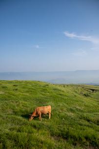 草原の草を食む牛の写真素材 [FYI04738064]
