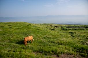 草原の草を食む牛の写真素材 [FYI04738065]