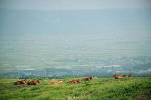 草原でくつろぐ牛の群れの写真素材 [FYI04738066]