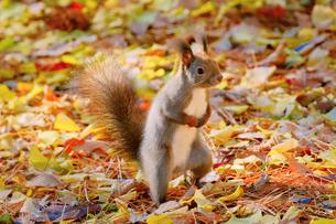 秋のエゾリスの写真素材 [FYI04738705]