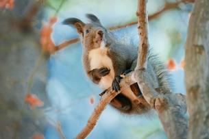 木の上のエゾリスの写真素材 [FYI04738707]