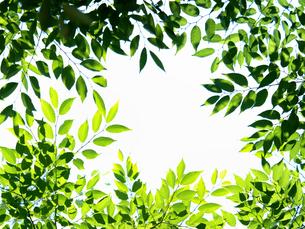 新緑 木漏れ日にかがやくケヤキの葉の写真素材 [FYI04738829]