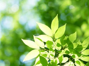 新緑 木漏れ日にかがやくケヤキの葉の写真素材 [FYI04738830]