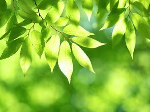新緑 木漏れ日にかがやくケヤキの葉の写真素材 [FYI04738833]
