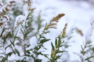 雪の中のセイタカアワダチソウの写真素材 [FYI04738987]