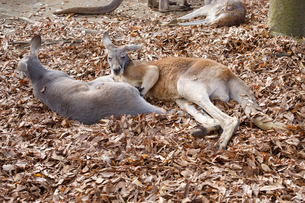 木の葉の上で休む二頭のカンガルーの写真素材 [FYI04739153]