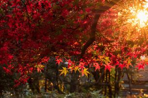 もみじと夕日の光芒の写真素材 [FYI04739216]