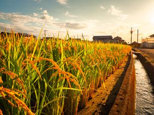 【秋】夕方の穂が実ってきた米を耕した田んぼ 農業の写真素材 [FYI04739298]