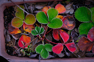 凍った植物の写真素材 [FYI04739355]