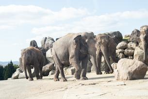 土の上を歩く三頭の象の写真素材 [FYI04739875]