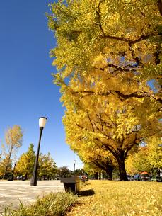 東京都 黄葉した丸の内のイチョウ並木の写真素材 [FYI04740114]
