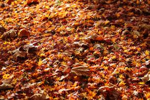 秋に紅葉した葉の写真素材 [FYI04740141]