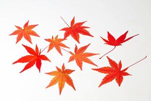 紅葉した紅葉の葉の写真素材 [FYI04740142]