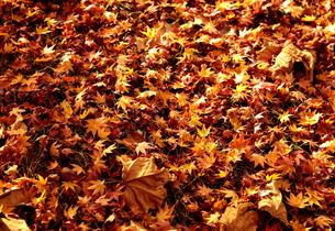 秋に落葉した葉の写真素材 [FYI04740156]
