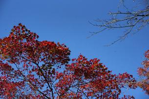 紅葉の葉の写真素材 [FYI04740308]