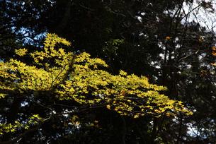 紅葉の木の写真素材 [FYI04740342]
