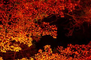 【秋】夜間のライトアップで照らされた紅葉 楓の葉の写真素材 [FYI04740351]